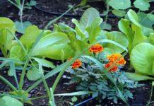 plantas repelentes de plagas en los cultivos