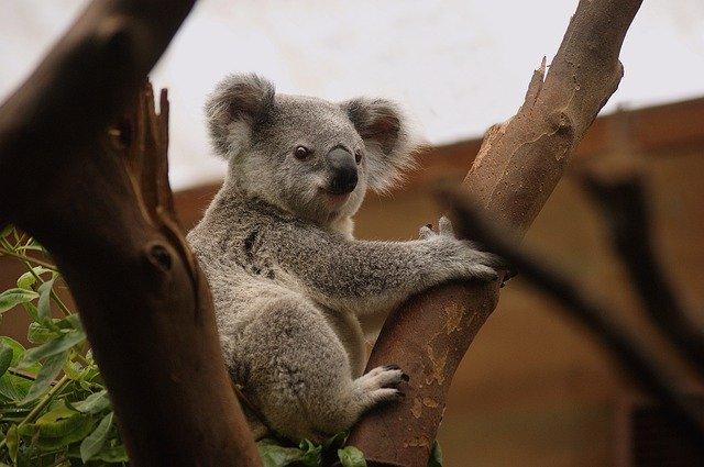 Koala en extinción