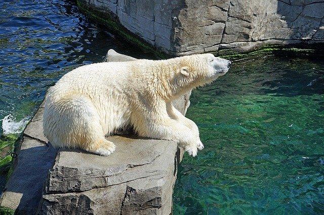 El Oso Polar o el Oso Blanco en extinción