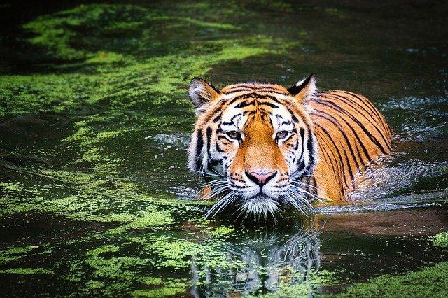 Tigres en extinción