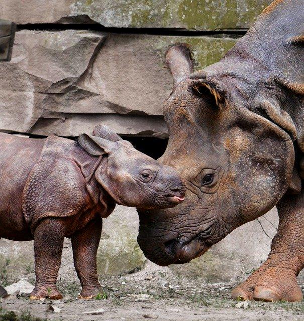 Rinoceronte de Java en extinción