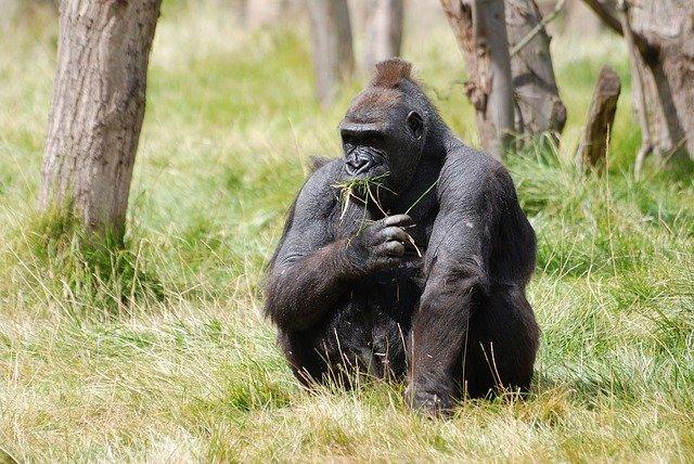 Gorila de Montaña en extinción