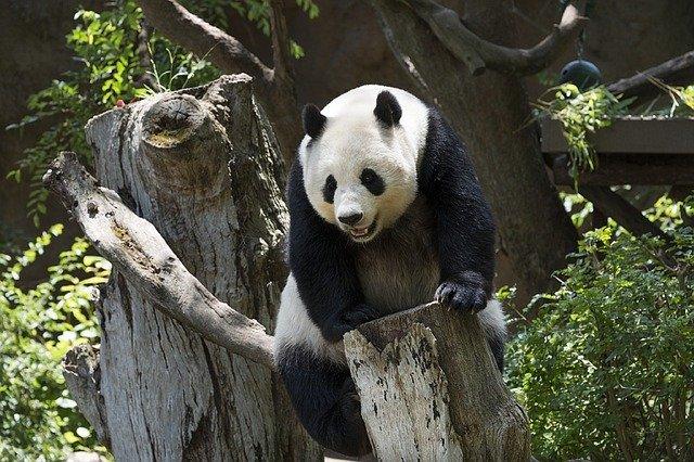 Osos Pandas en extinción