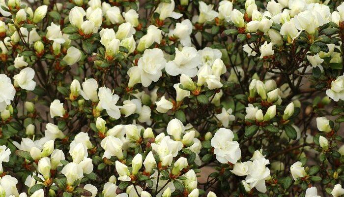 Planta AZALEA 【GUÍA 2020】 Cuidados y Características para tu Jardín