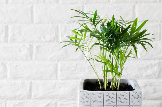Palmera-Plantas para interiores oscuros