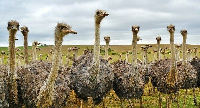 Avestruz de la sabana de África