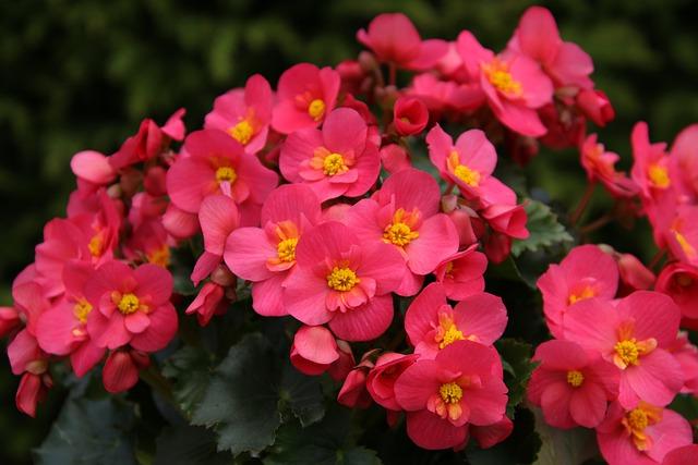 Begonia- Bonitas flores todo el año