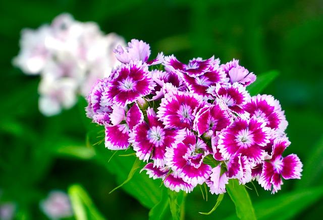 Clavelina- de las plantas que florecen todo el año