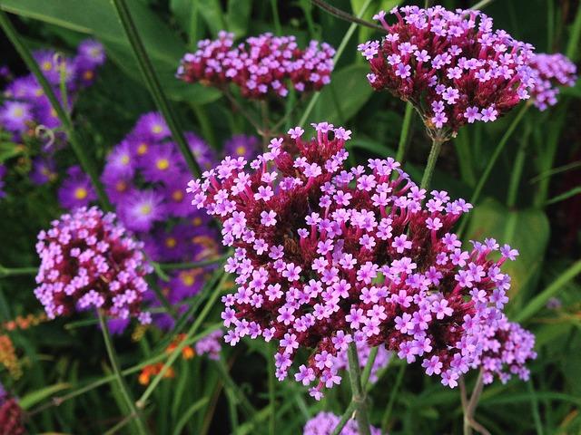 Verbena- una de las plantas que florecen todo el año