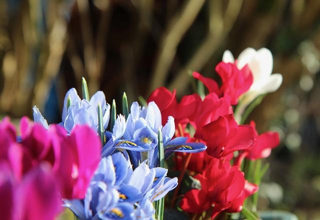 Ciclamen- Flores 12 meses del año