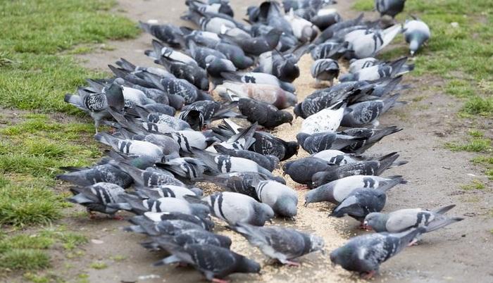 control de plagas en palomas