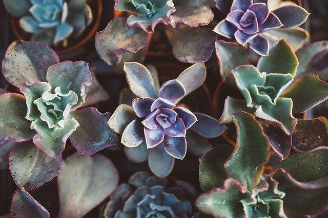 cuidados de las suculentas plantas