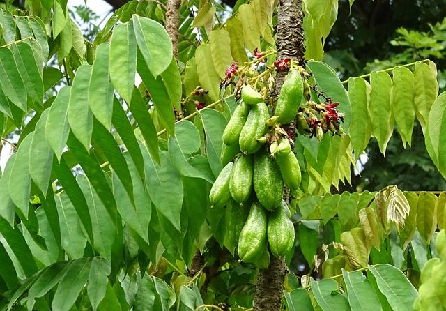 fruta tropical exótica Carambola