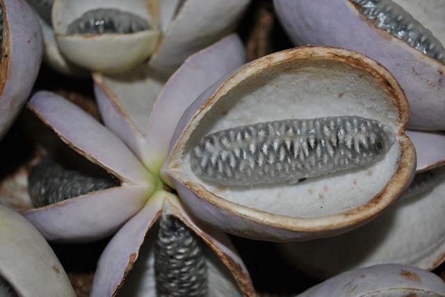 fruta tropical exótica Akebia