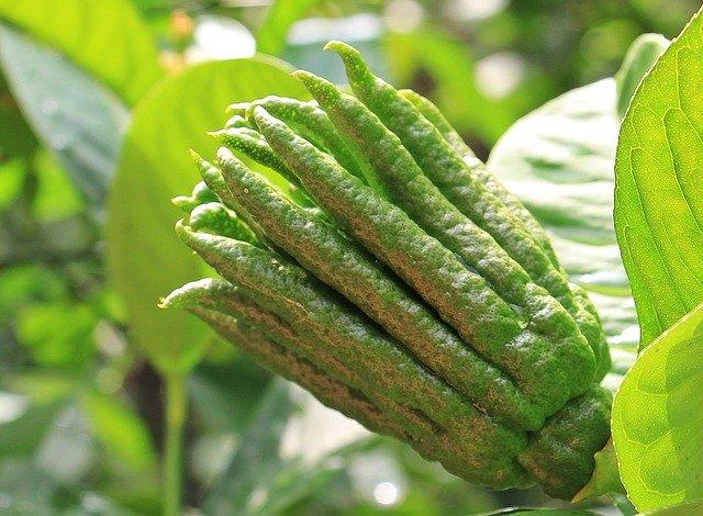 fruta tropical exótica Mano de Buda