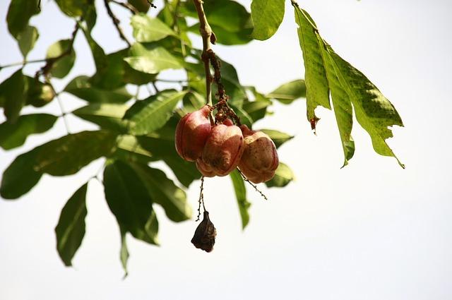 fruta tropical exótica Ackee