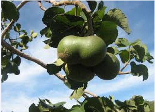 fruta tropical exótica pequi