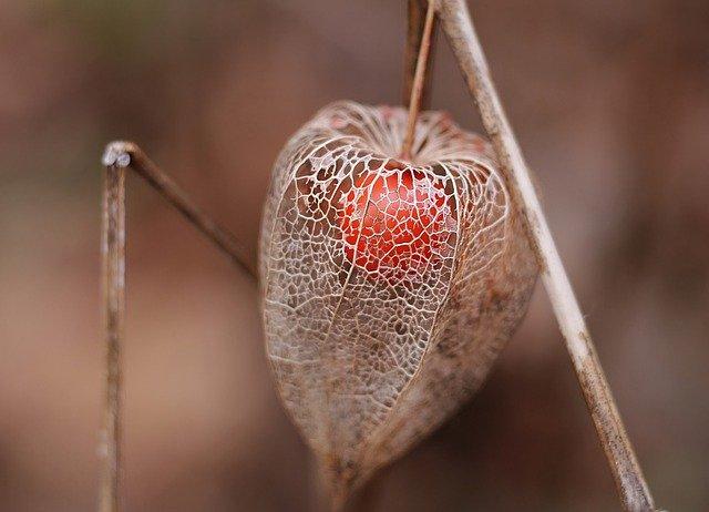fruta tropical exótica Uchuva