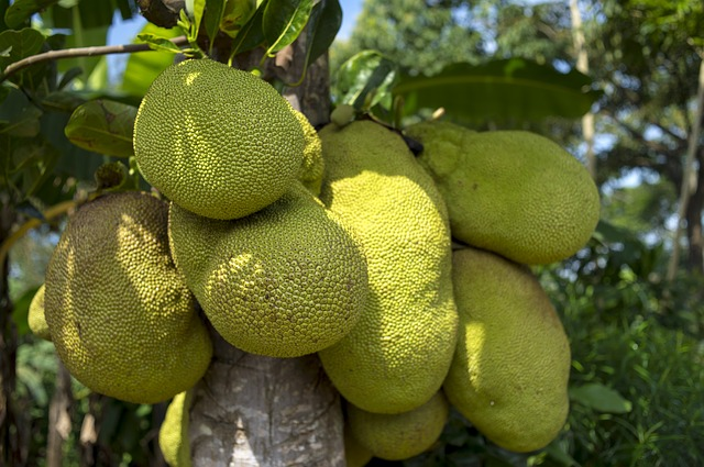 fruta tropical exótica Yaca