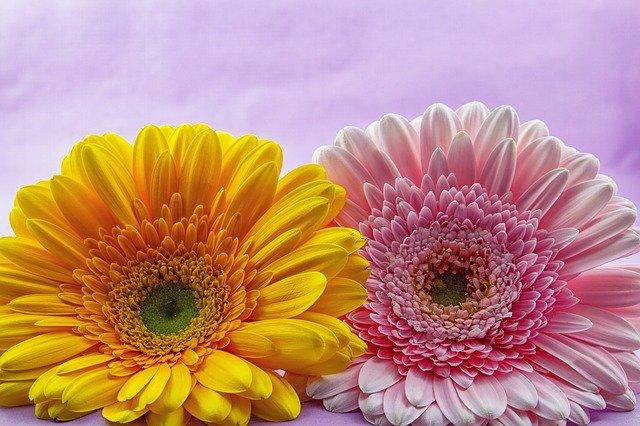 Planta gerbera- Colores y significado