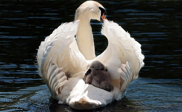 animales con plumas cisnes