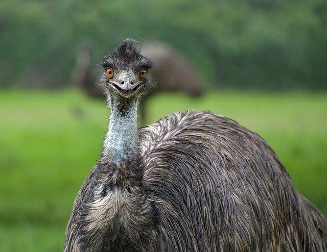 animales que no vuelan emú