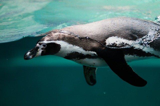 Pingüino animal con plumas