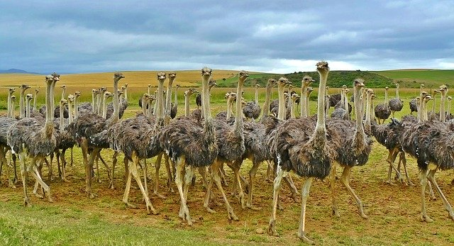 avestruces animales con plumas