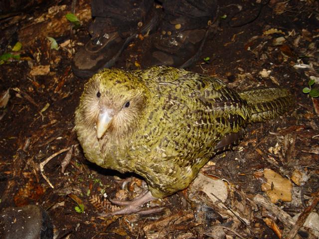 ave kakapo