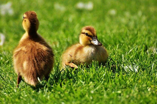 Patos bebés