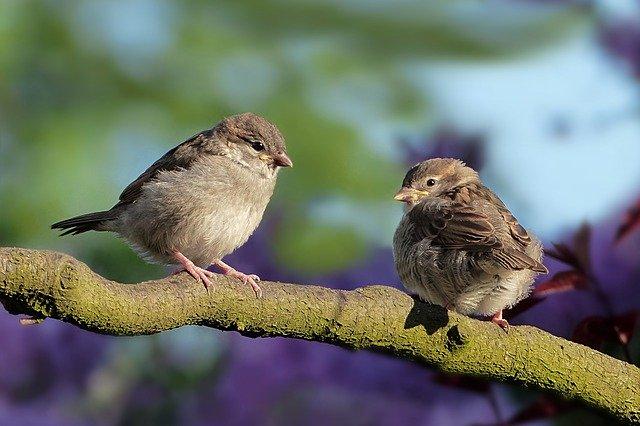 Aves Gorrión