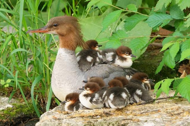 animales con plumas serreta con crías