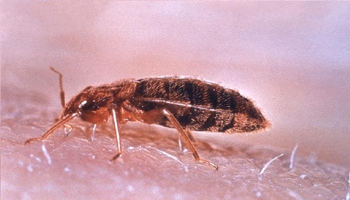 Control de plagas en chinches