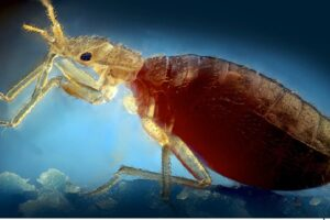 Control de Plagas en Chinches 【Prevención, Detección y Erradicación】