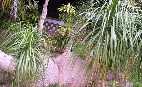 tres plantas pata de elefante