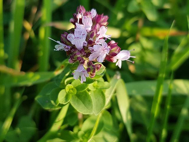 cuidados del orégano y para qué sirve - flores