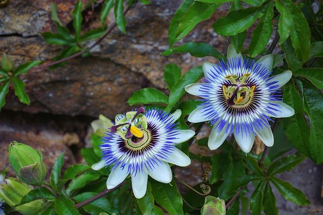 Flores Pasiflora