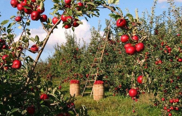 huerto de manzanas