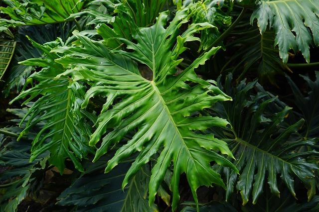 planta filodendro hojas verdes