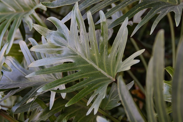 hojas planta filodendro