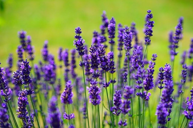 planta lavanda púrpura