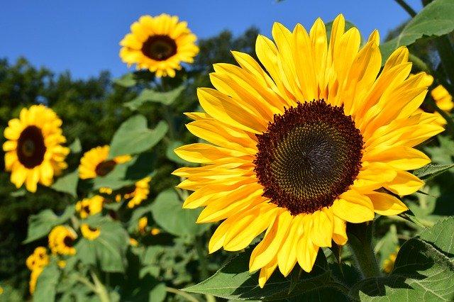 plantas con flores amarillas - girasol