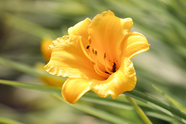 plantas con flores amarillas - fresia