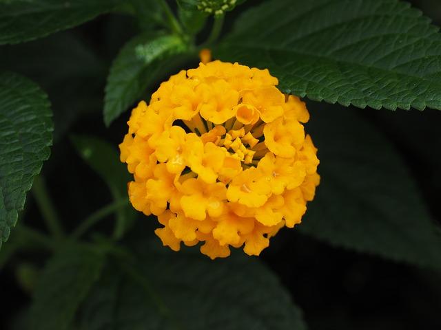 plantas con flores amarillas- lantana amarilla