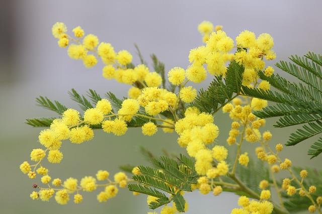 mimosa de color amarillo