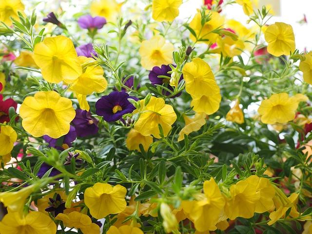 petunia calibrachoa amarilla