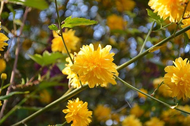 plantas con flores amarillas - kerria