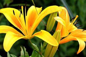Plantas con Flores Amarillas【TOP 21 】+ GALERIA DE FOTOS