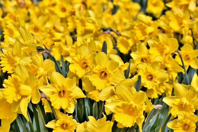 plantas con flores amarillas - narcisos amarillos