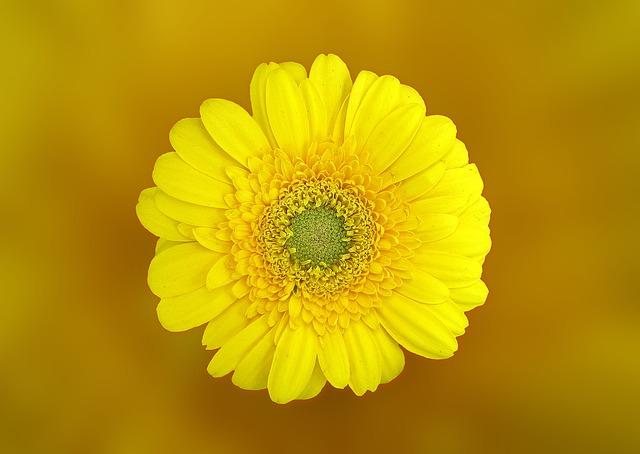 plantas con flores amarillas - gerbera